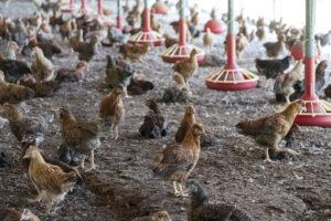 平飼いですくすくと育つ、みやざき地頭鶏